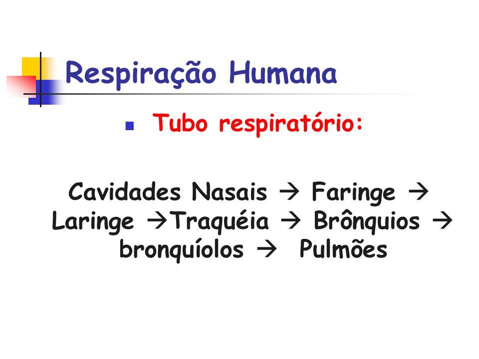 Respiração Humana Tubo respiratório: