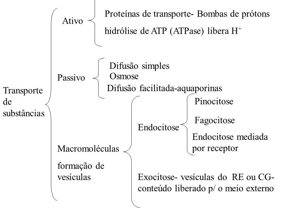 Ativo Difusão simples. Passivo. Macromoléculas. formação de vesículas. Proteínas de transporte- Bombas de prótons.