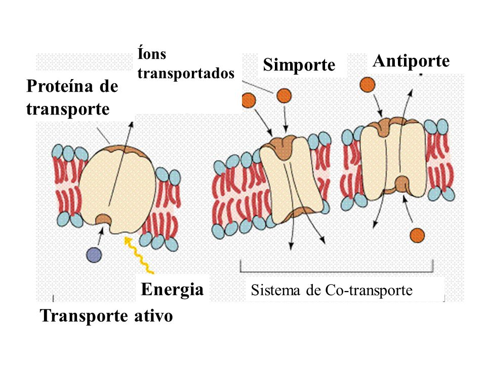 Proteína de transporte Simporte Antiporte