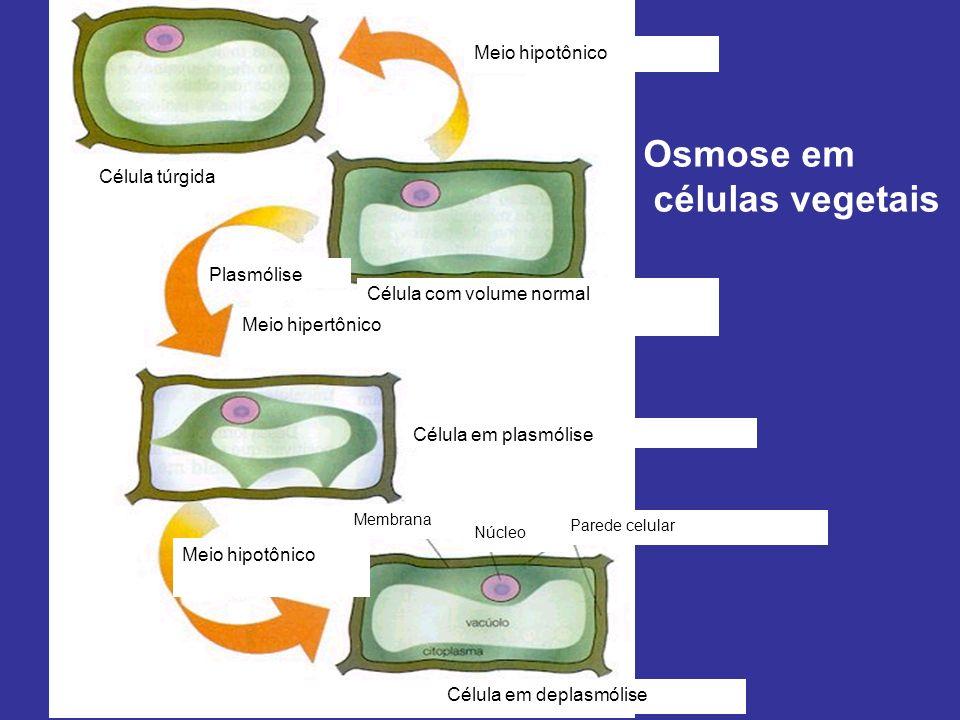 Osmose em células vegetais Meio hipotônico Célula túrgida Plasmólise