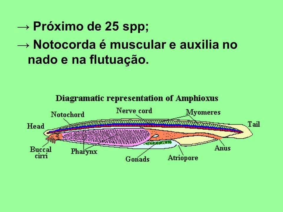 → Próximo de 25 spp; → Notocorda é muscular e auxilia no nado e na flutuação.