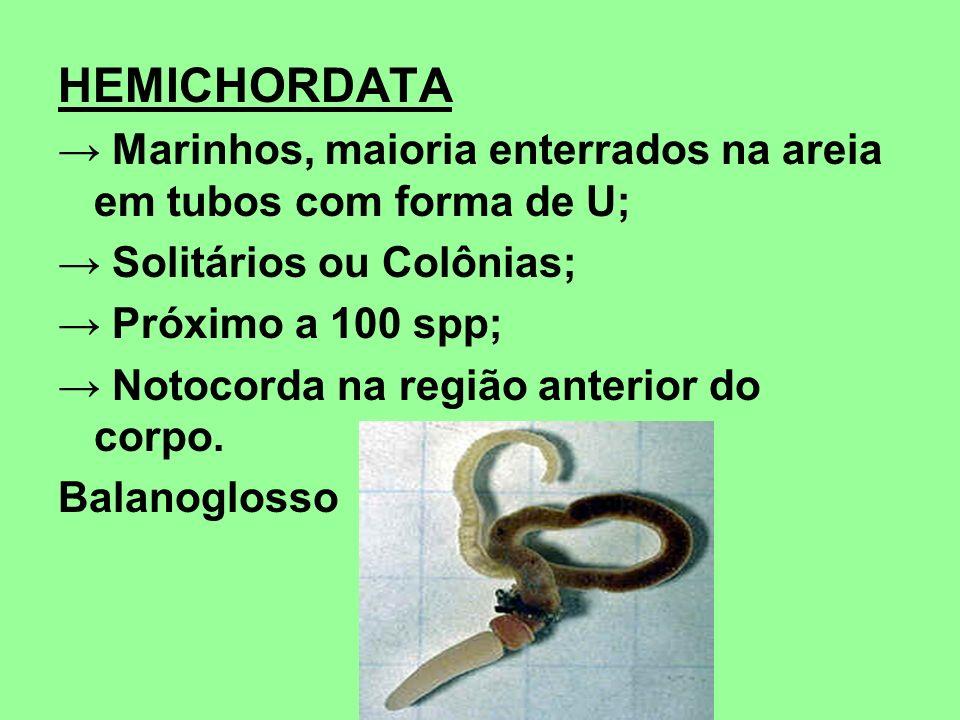 HEMICHORDATA → Marinhos, maioria enterrados na areia em tubos com forma de U; → Solitários ou Colônias;