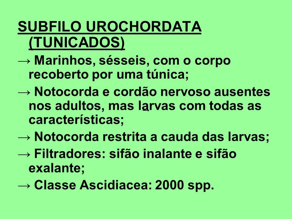 SUBFILO UROCHORDATA (TUNICADOS)