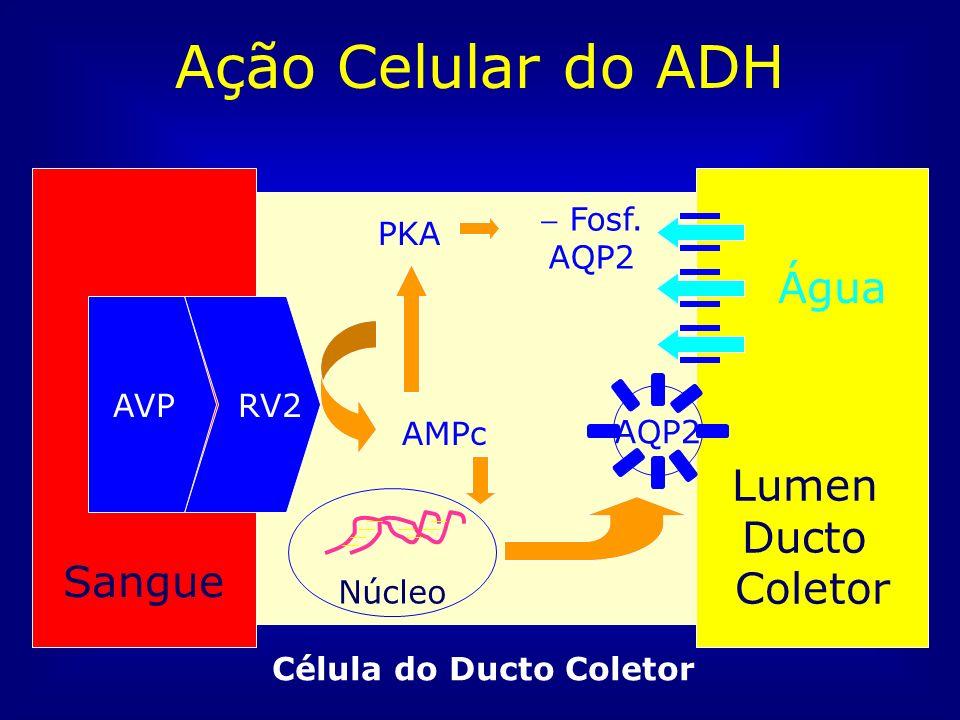 Ação Celular do ADH Água Lumen Ducto Sangue Coletor RV2 AVP