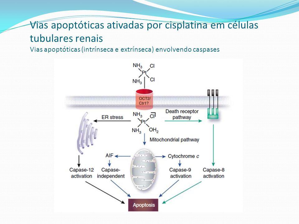 Vias apoptóticas ativadas por cisplatina em células tubulares renais Vias apoptóticas (intrínseca e extrínseca) envolvendo caspases