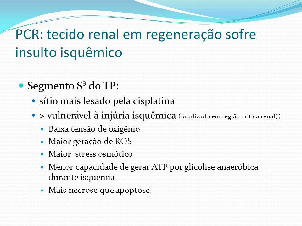 PCR: tecido renal em regeneração sofre insulto isquêmico