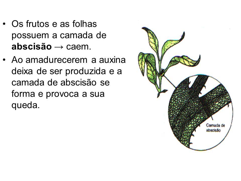 Os frutos e as folhas possuem a camada de abscisão → caem.
