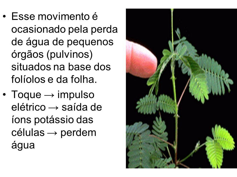 Esse movimento é ocasionado pela perda de água de pequenos órgãos (pulvinos) situados na base dos folíolos e da folha.
