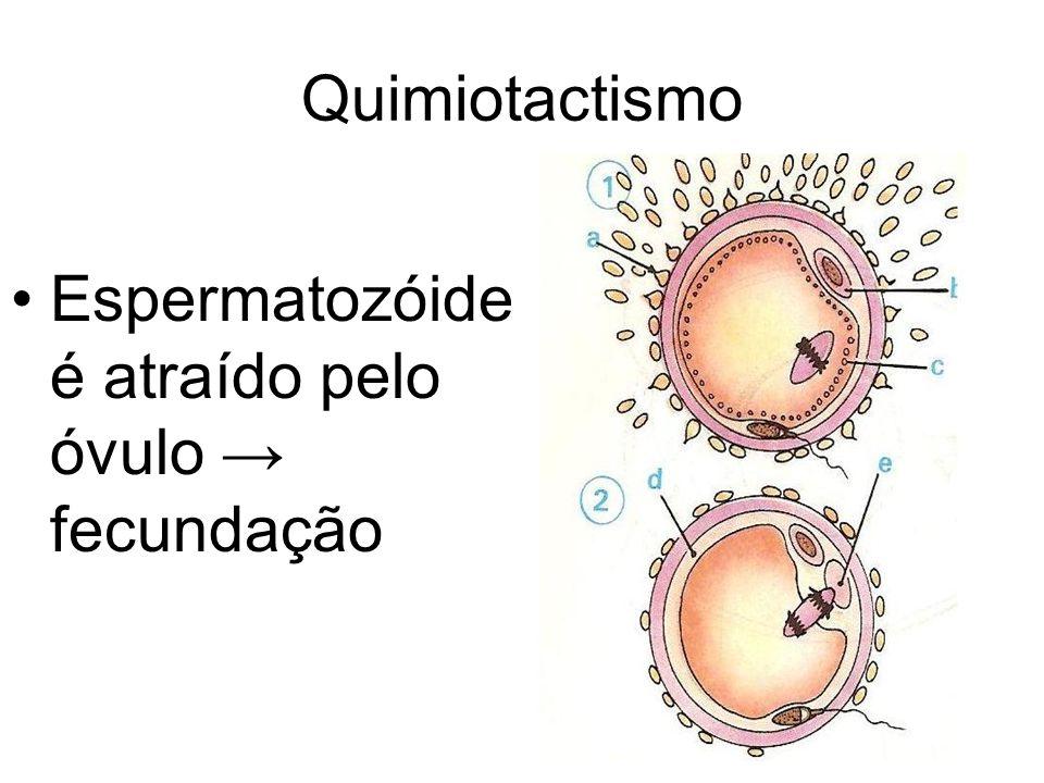 Quimiotactismo Espermatozóide é atraído pelo óvulo → fecundação