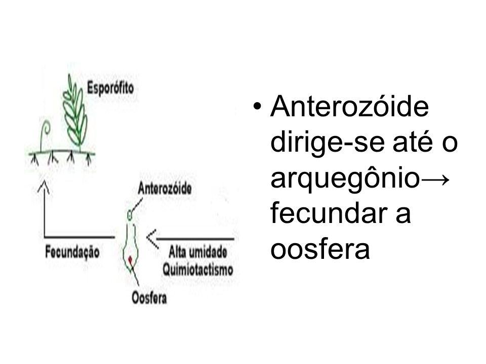 Anterozóide dirige-se até o arquegônio→ fecundar a oosfera