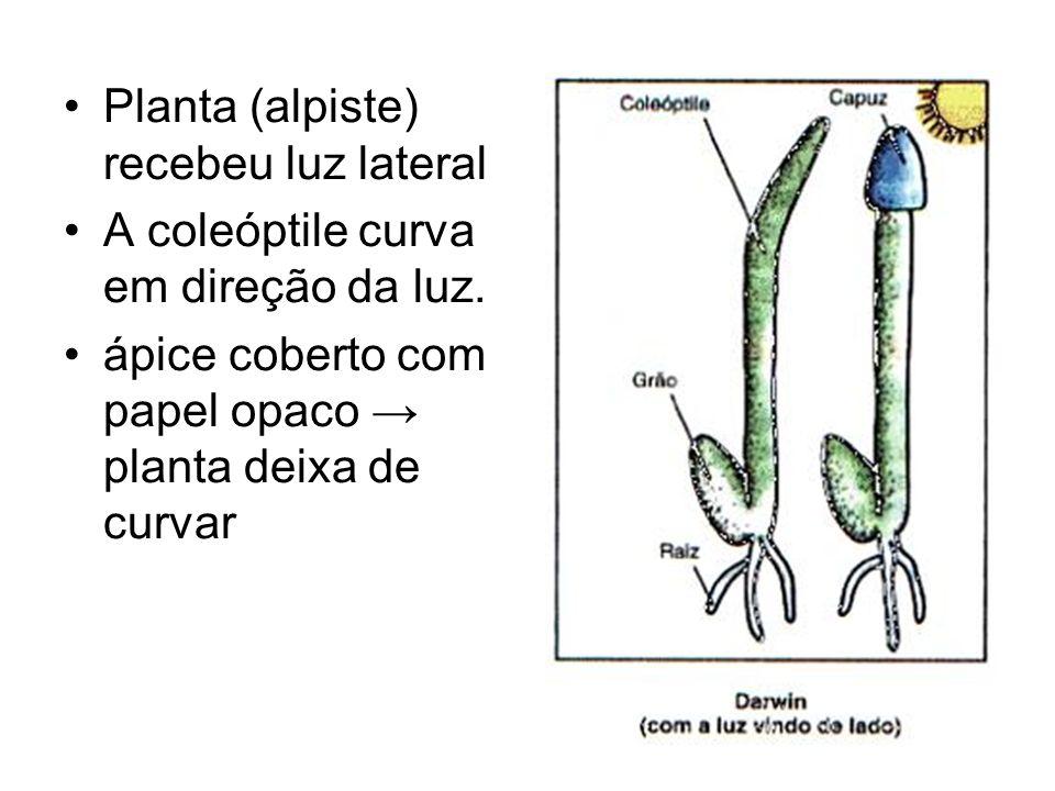 Planta (alpiste) recebeu luz lateral