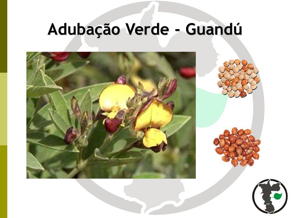 Adubação Verde - Guandú