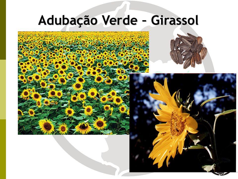 Adubação Verde – Girassol