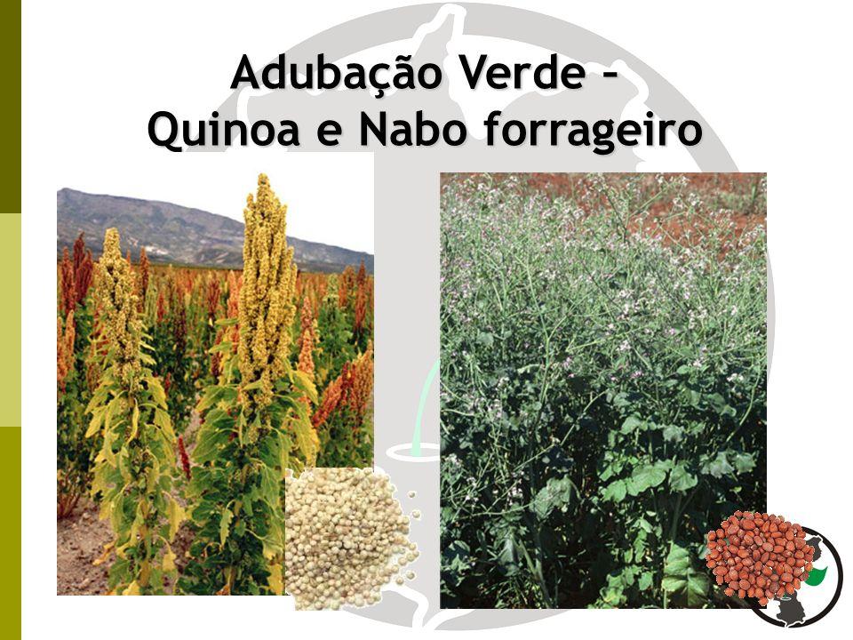 Quinoa e Nabo forrageiro