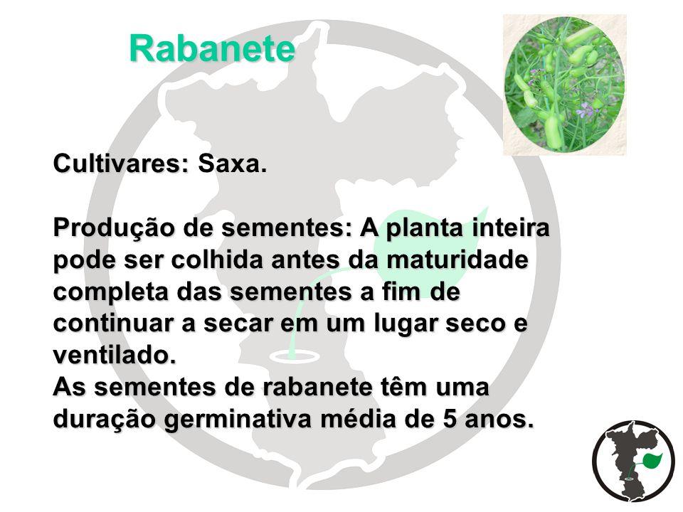 Rabanete Cultivares: Saxa.