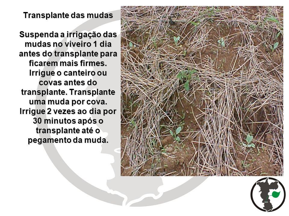 Transplante das mudas Suspenda a irrigação das mudas no viveiro 1 dia antes do transplante para ficarem mais firmes.