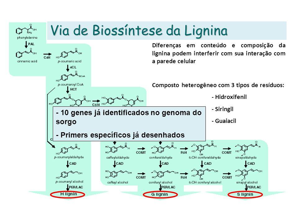 Via de Biossíntese da Lignina