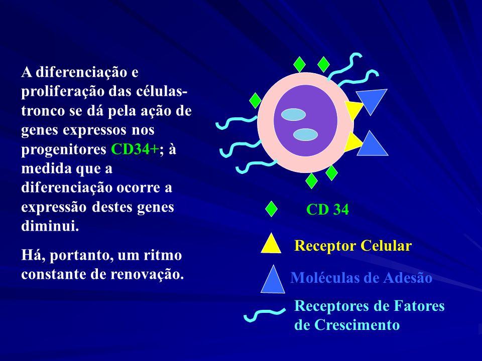 A diferenciação e proliferação das células-tronco se dá pela ação de genes expressos nos progenitores CD34+; à medida que a diferenciação ocorre a expressão destes genes diminui.