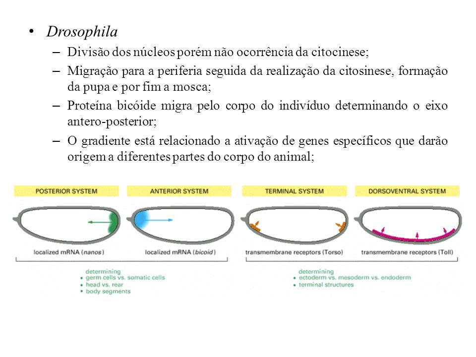 Drosophila Divisão dos núcleos porém não ocorrência da citocinese;