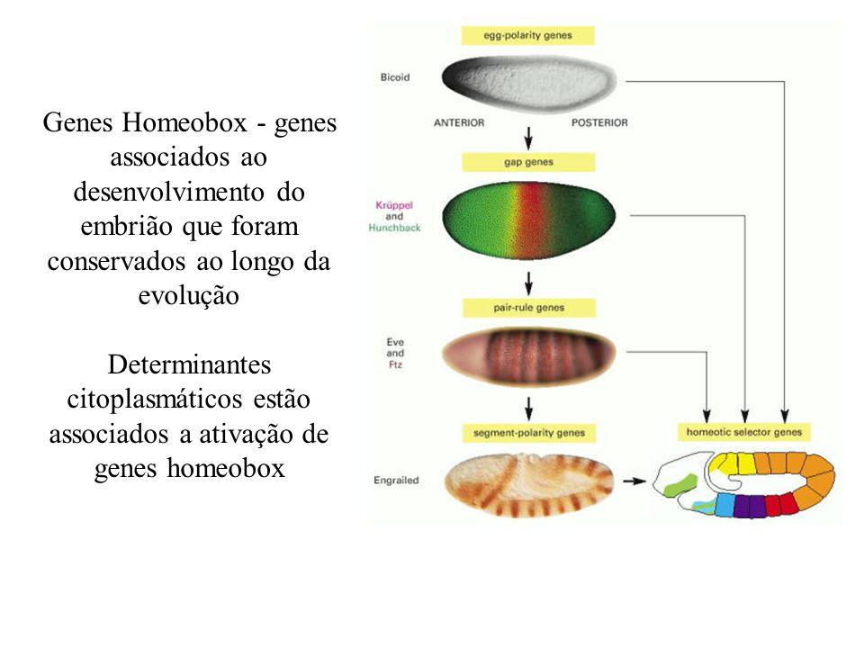 Genes Homeobox - genes associados ao desenvolvimento do embrião que foram conservados ao longo da evolução