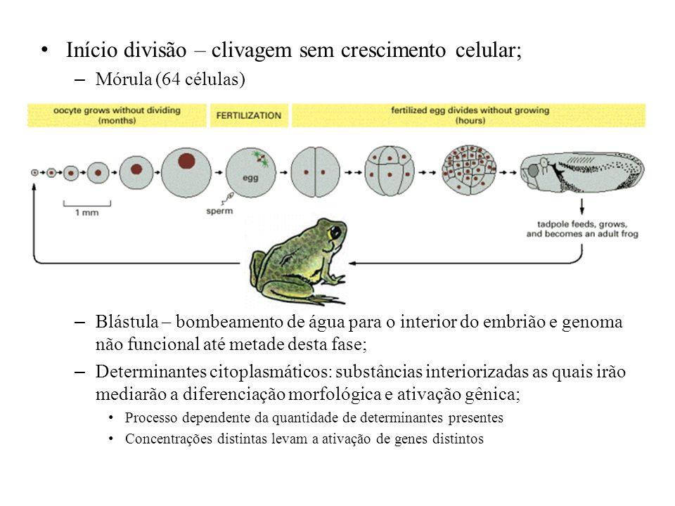 Início divisão – clivagem sem crescimento celular;