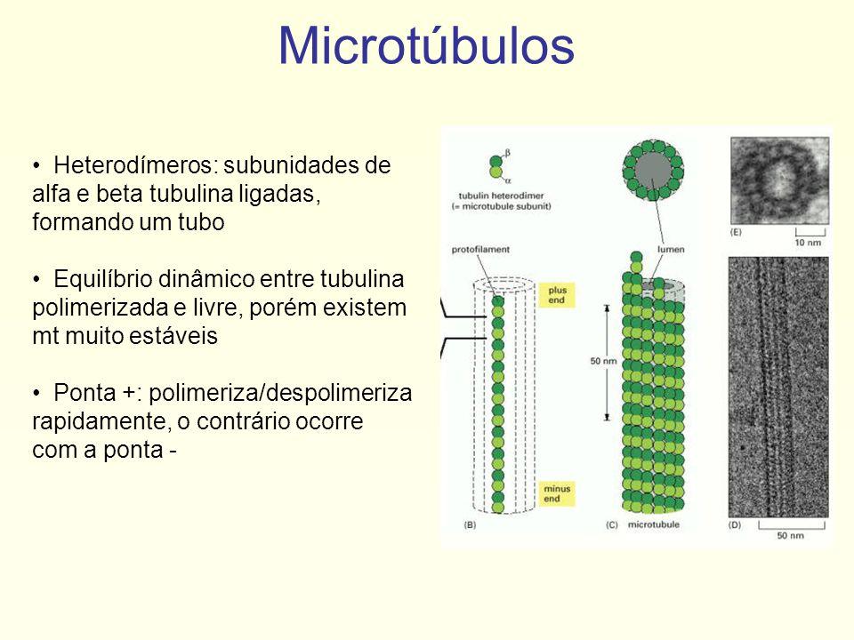 Microtúbulos Heterodímeros: subunidades de alfa e beta tubulina ligadas, formando um tubo.