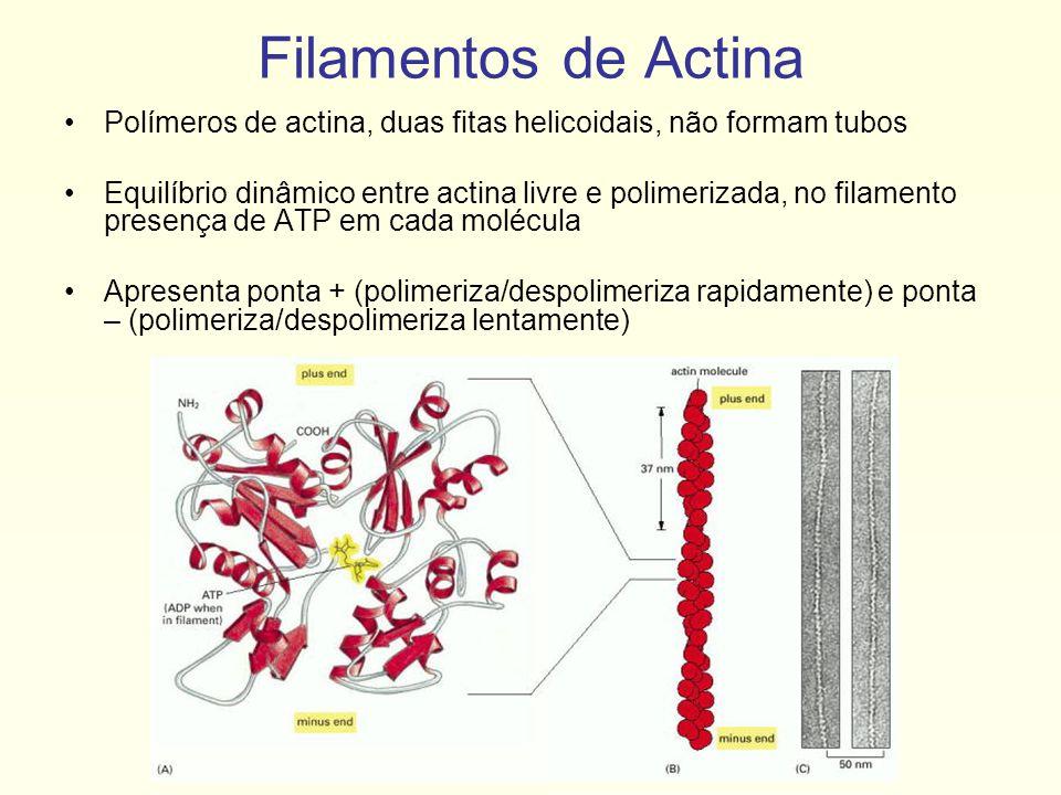 Filamentos de Actina Polímeros de actina, duas fitas helicoidais, não formam tubos.