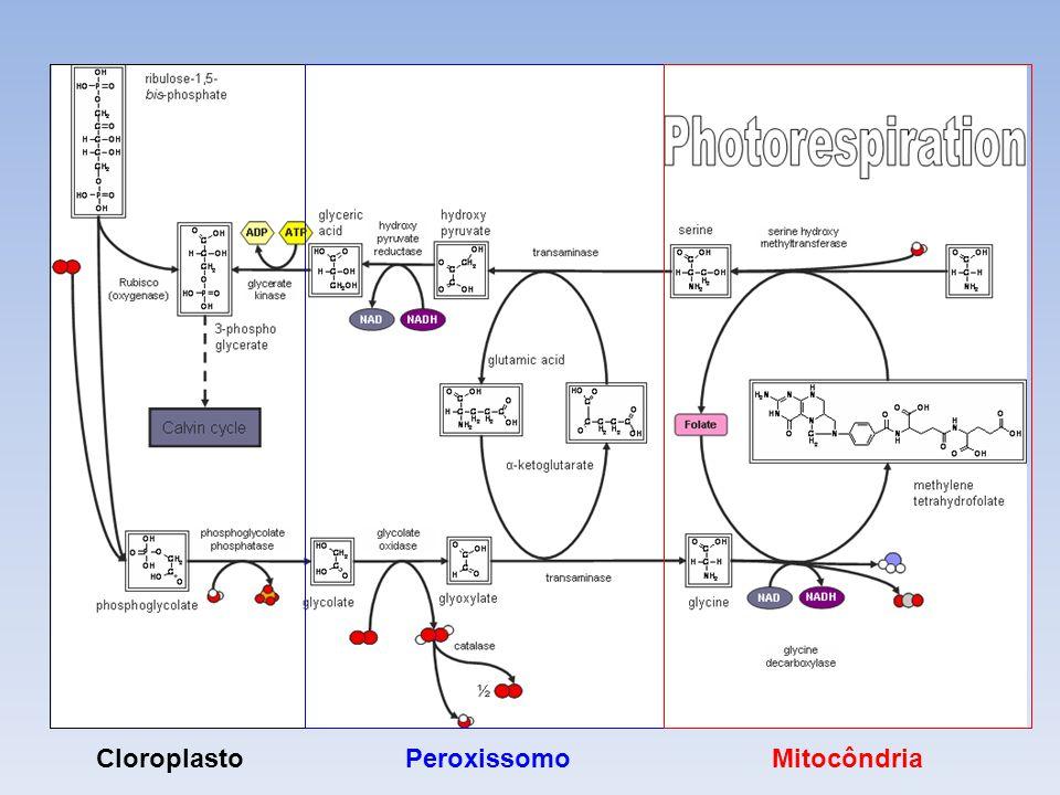 Células Vegetais Cloroplasto Peroxissomo Mitocôndria Fotorrespiração
