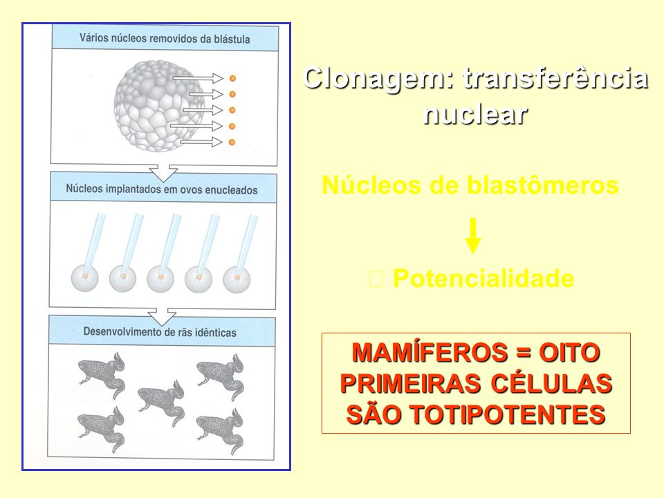 Clonagem: transferência nuclear