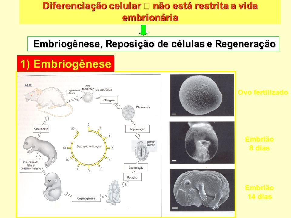 Diferenciação celular  não está restrita a vida embrionária