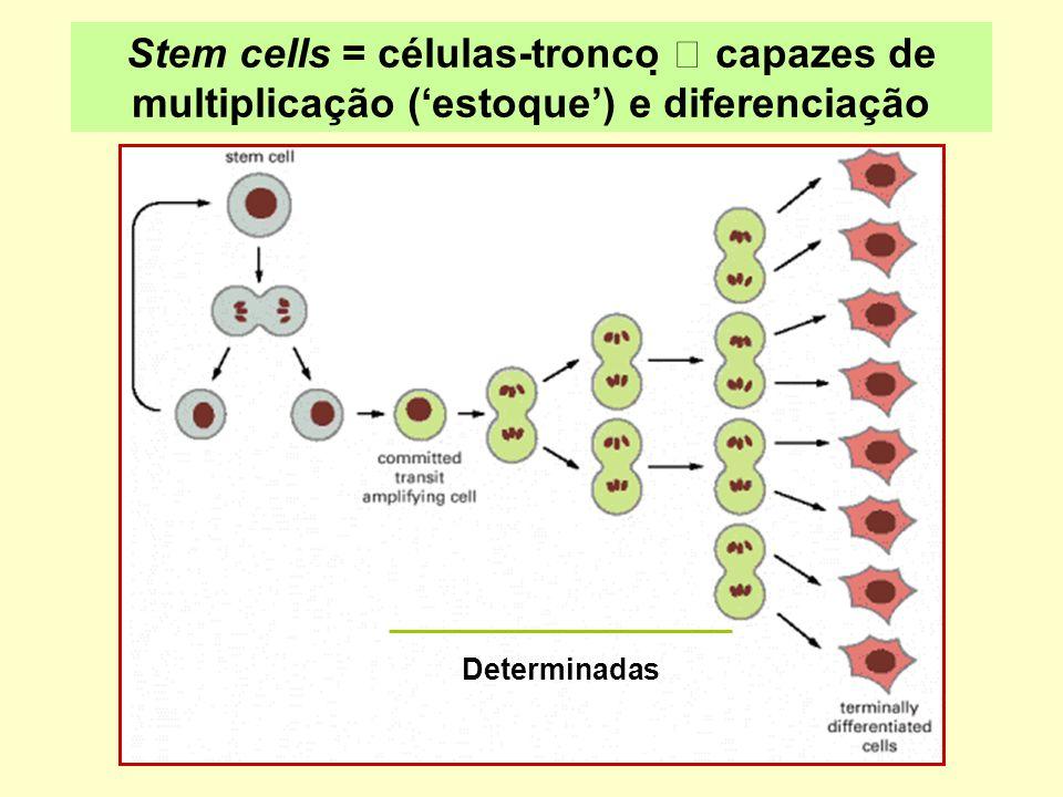 Stem cells = células-tronco  capazes de multiplicação ('estoque') e diferenciação