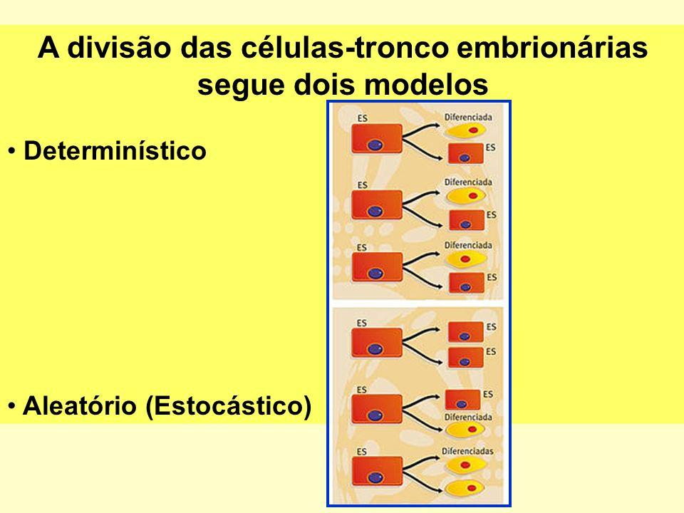A divisão das células-tronco embrionárias segue dois modelos