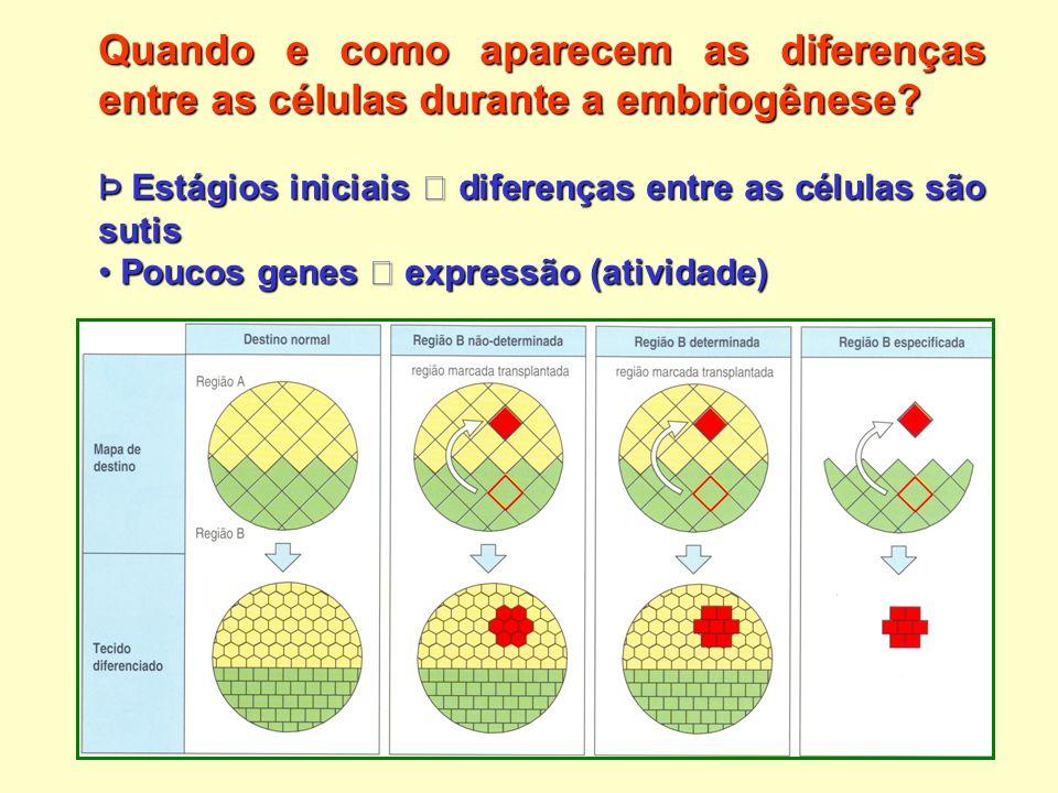 Quando e como aparecem as diferenças entre as células durante a embriogênese