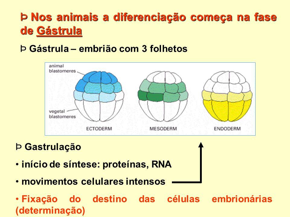 Nos animais a diferenciação começa na fase de Gástrula