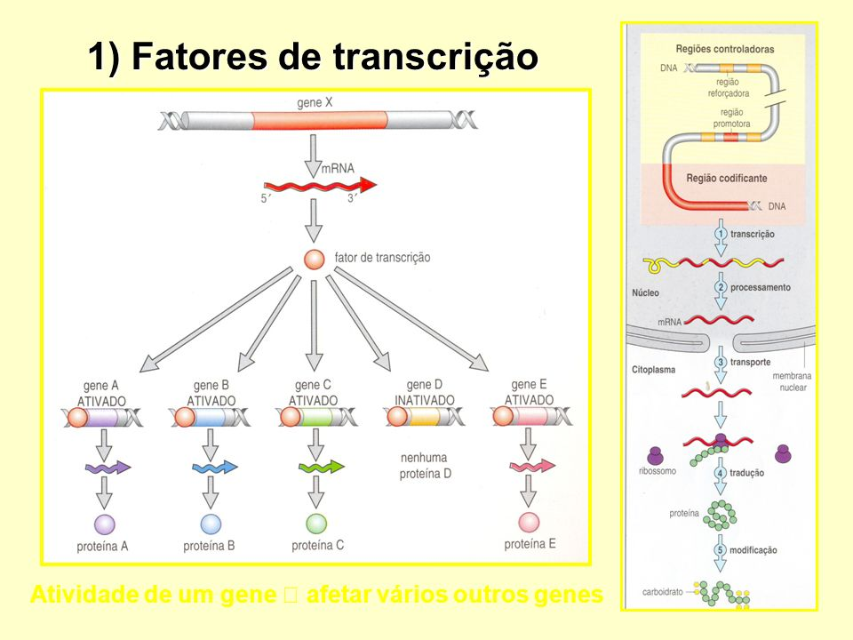 1) Fatores de transcrição