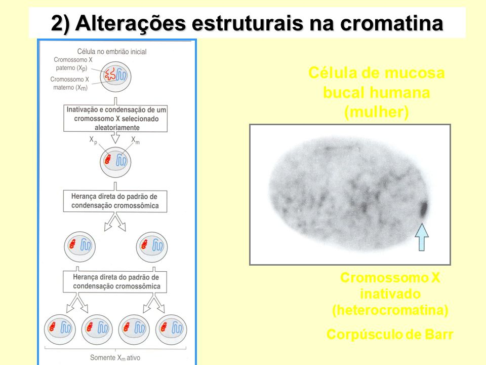 2) Alterações estruturais na cromatina