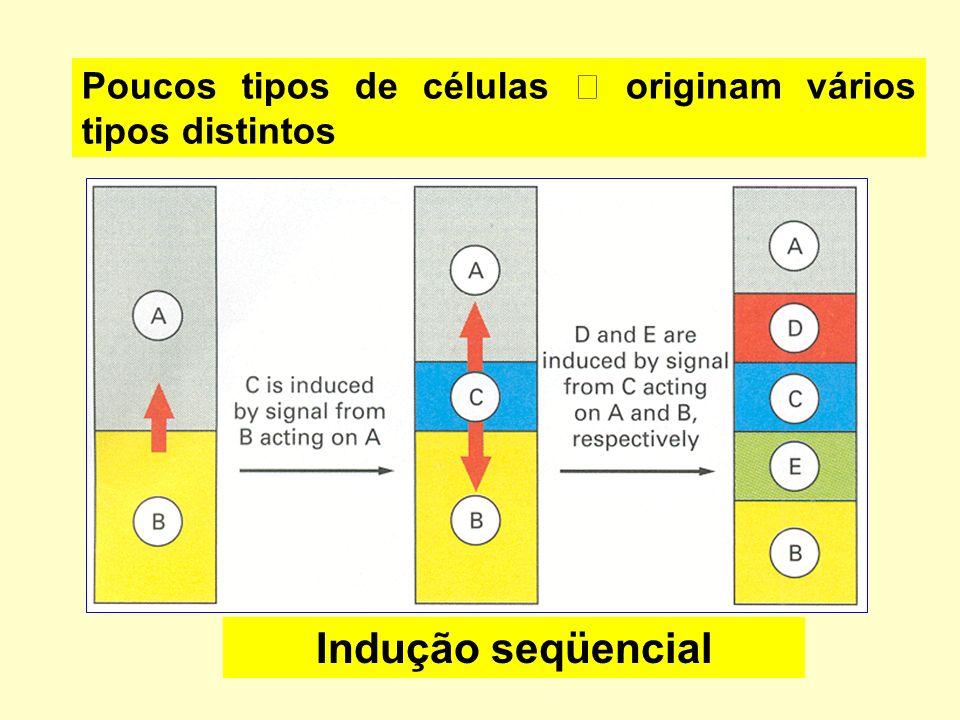 Poucos tipos de células  originam vários tipos distintos