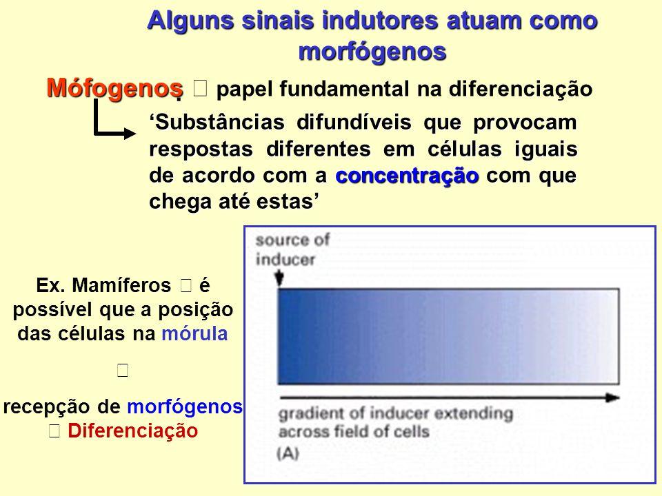 Alguns sinais indutores atuam como morfógenos