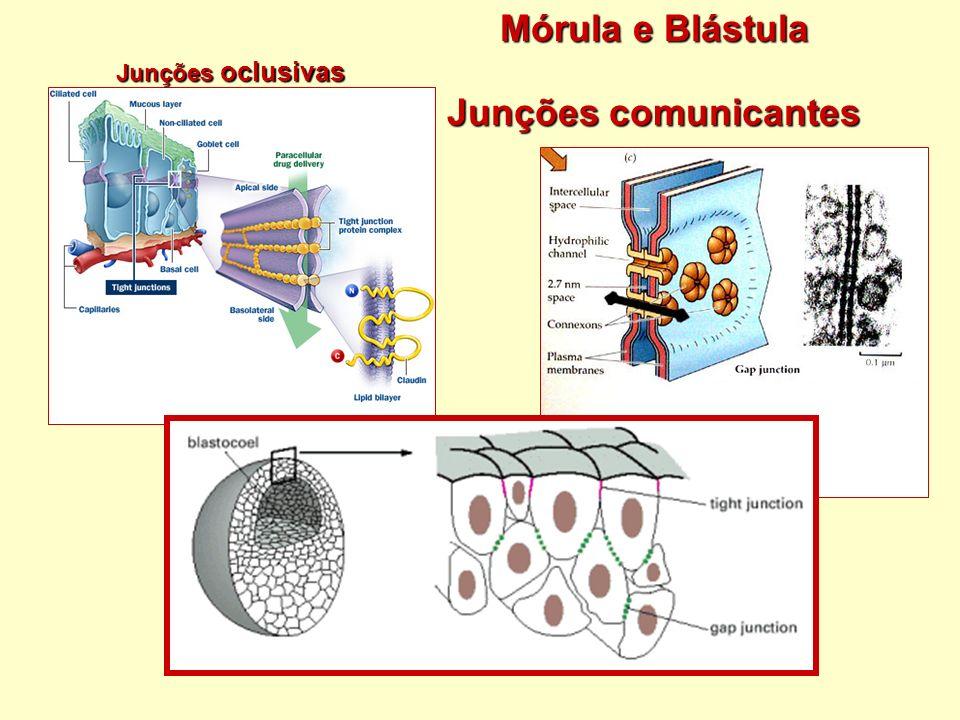 Mórula e Blástula Junções comunicantes