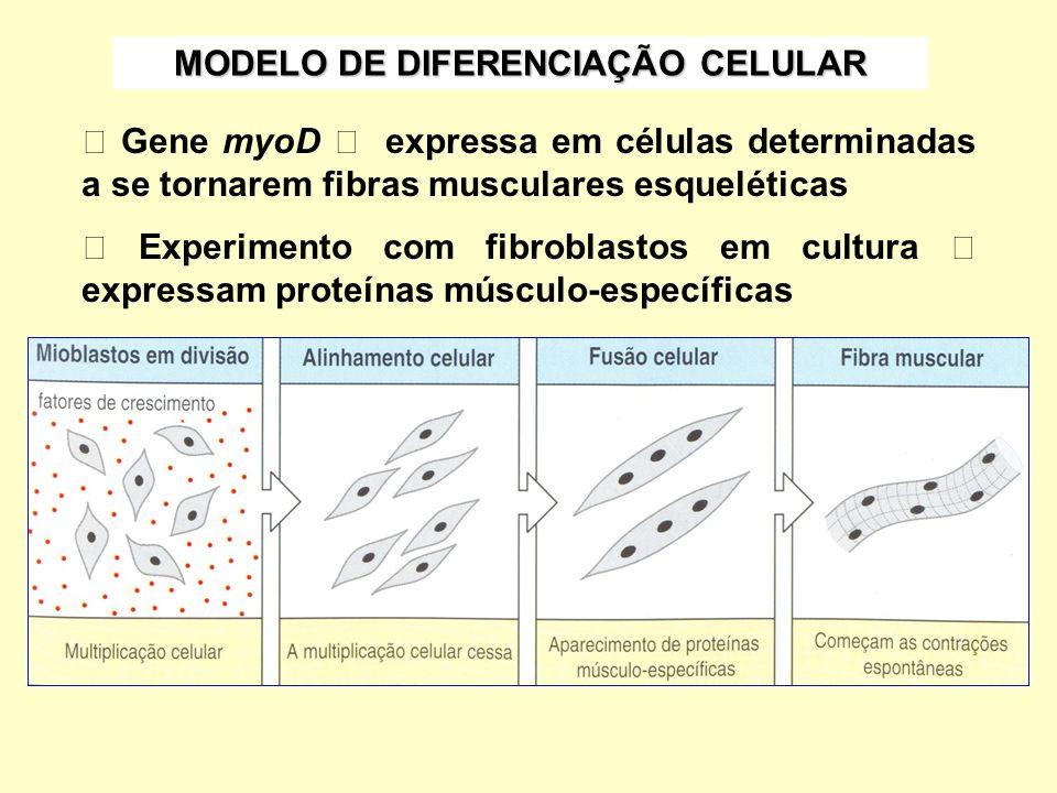 MODELO DE DIFERENCIAÇÃO CELULAR