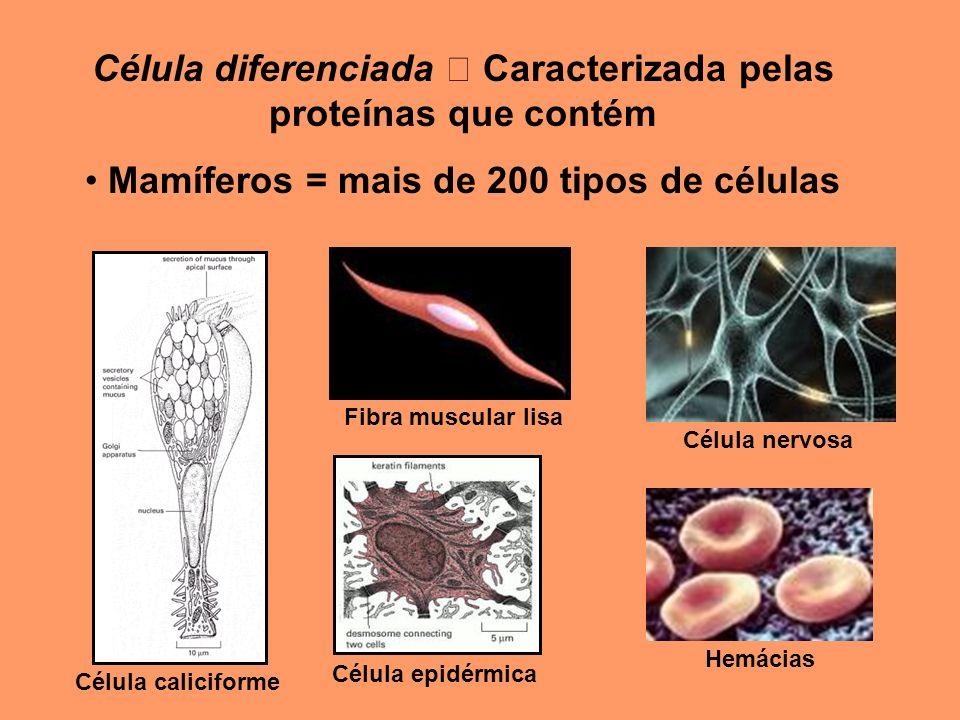 Célula diferenciada  Caracterizada pelas proteínas que contém