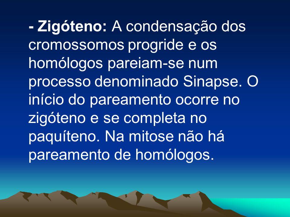 - Zigóteno: A condensação dos cromossomos progride e os homólogos pareiam-se num processo denominado Sinapse.