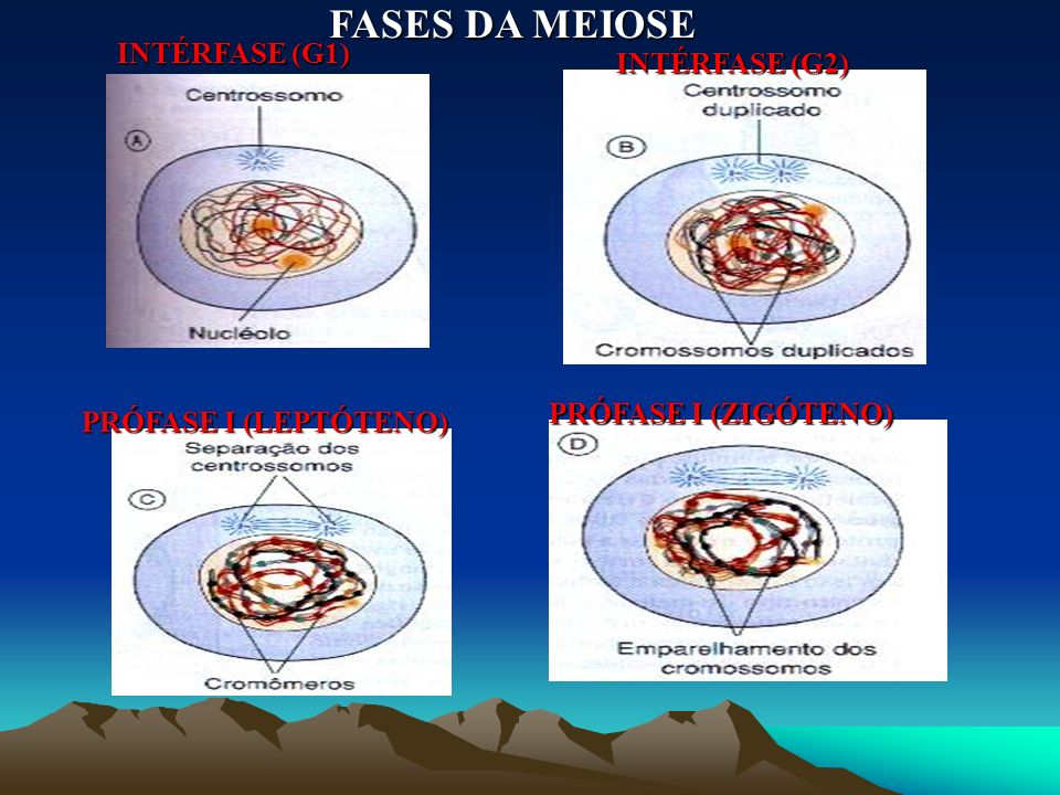 FASES DA MEIOSE INTÉRFASE (G1) INTÉRFASE (G2) PRÓFASE I (ZIGÓTENO)
