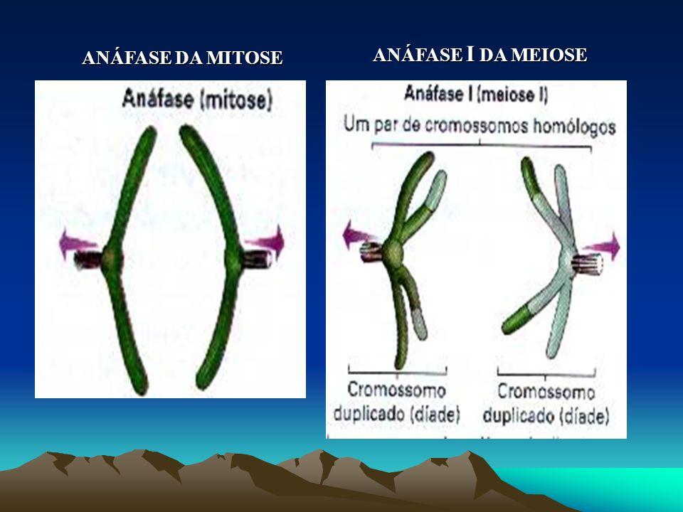 ANÁFASE DA MITOSE ANÁFASE I DA MEIOSE