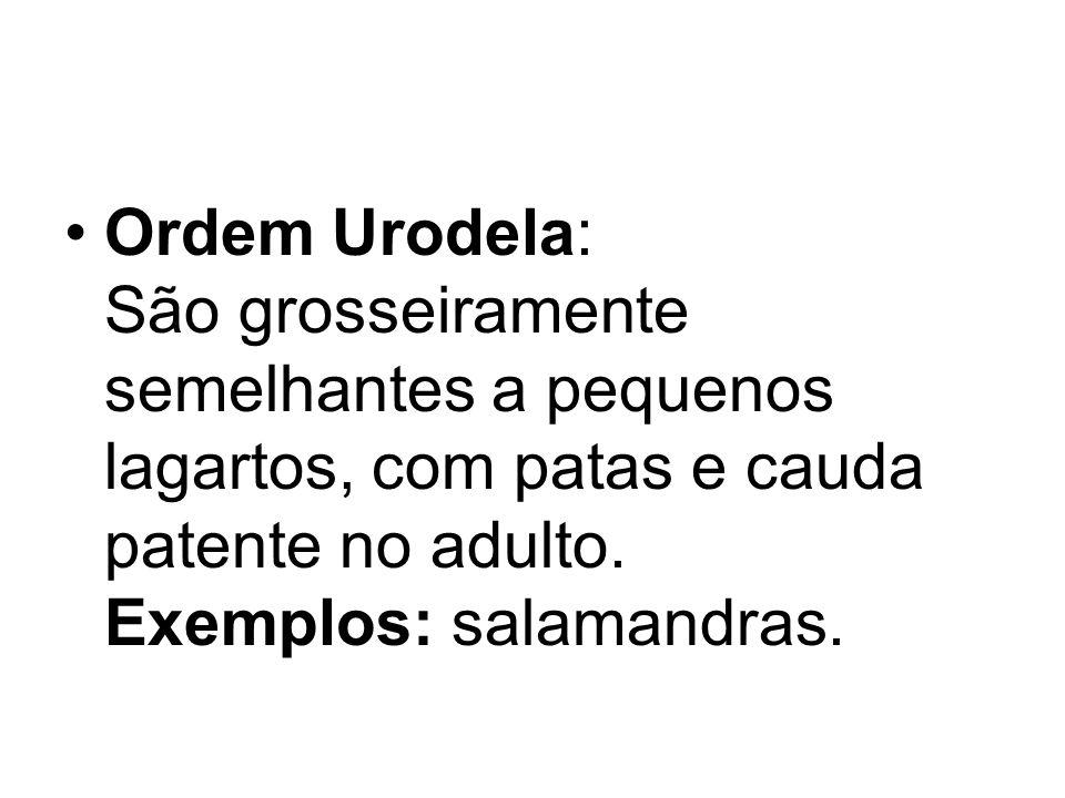 Ordem Urodela: São grosseiramente semelhantes a pequenos lagartos, com patas e cauda patente no adulto.