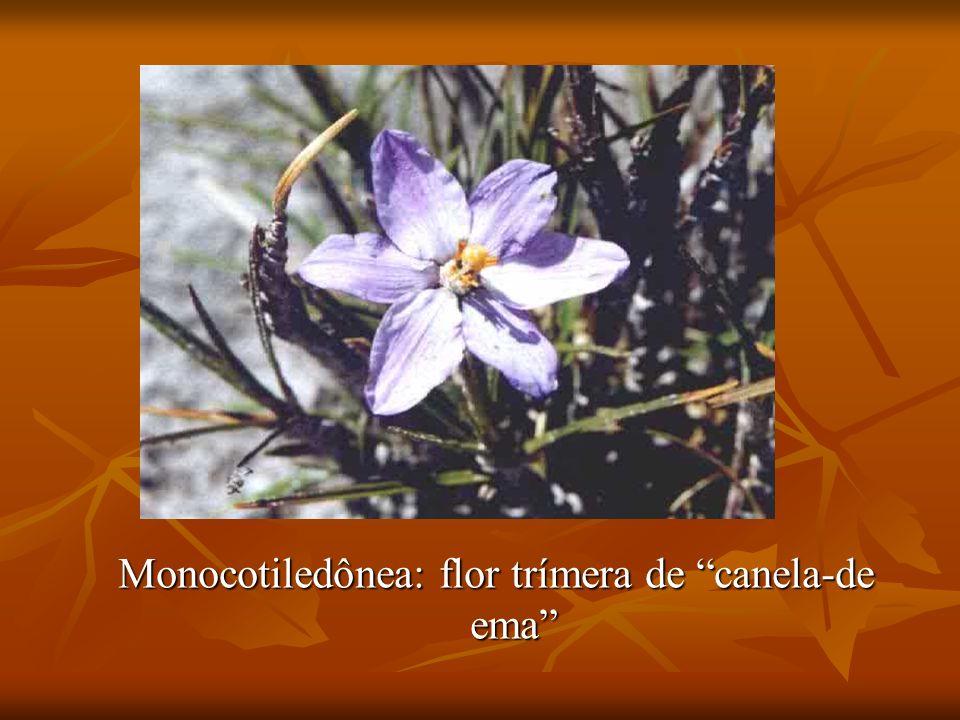 Monocotiledônea: flor trímera de canela-de ema
