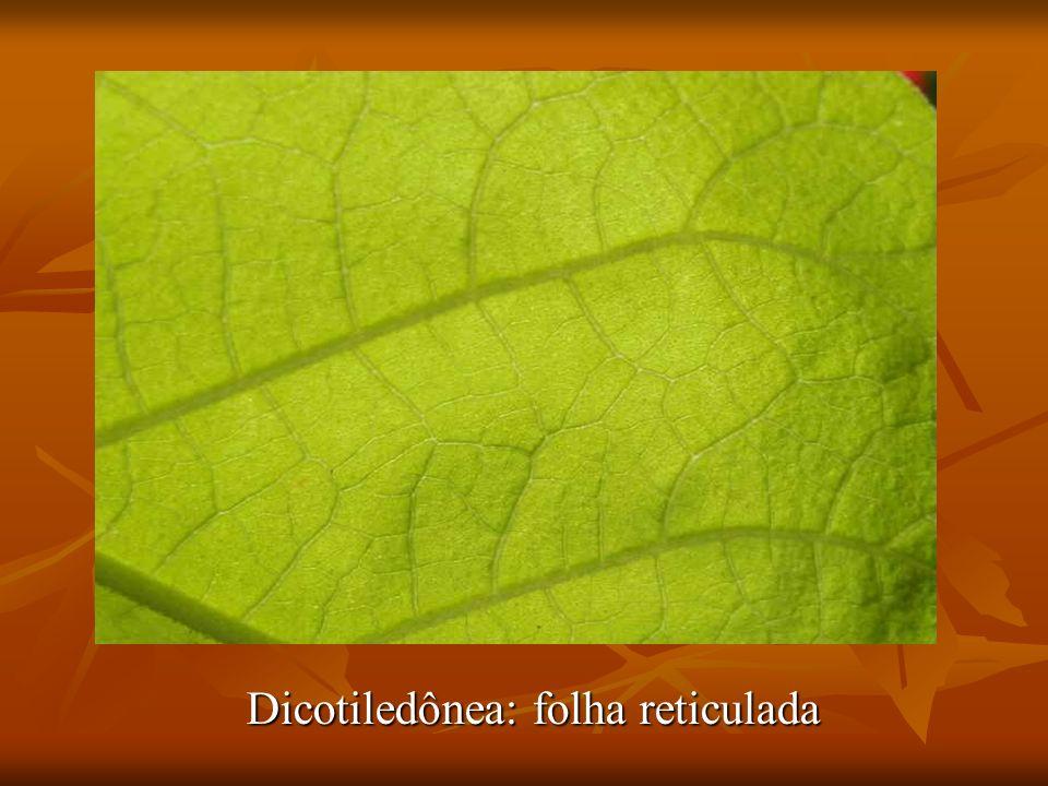Dicotiledônea: folha reticulada