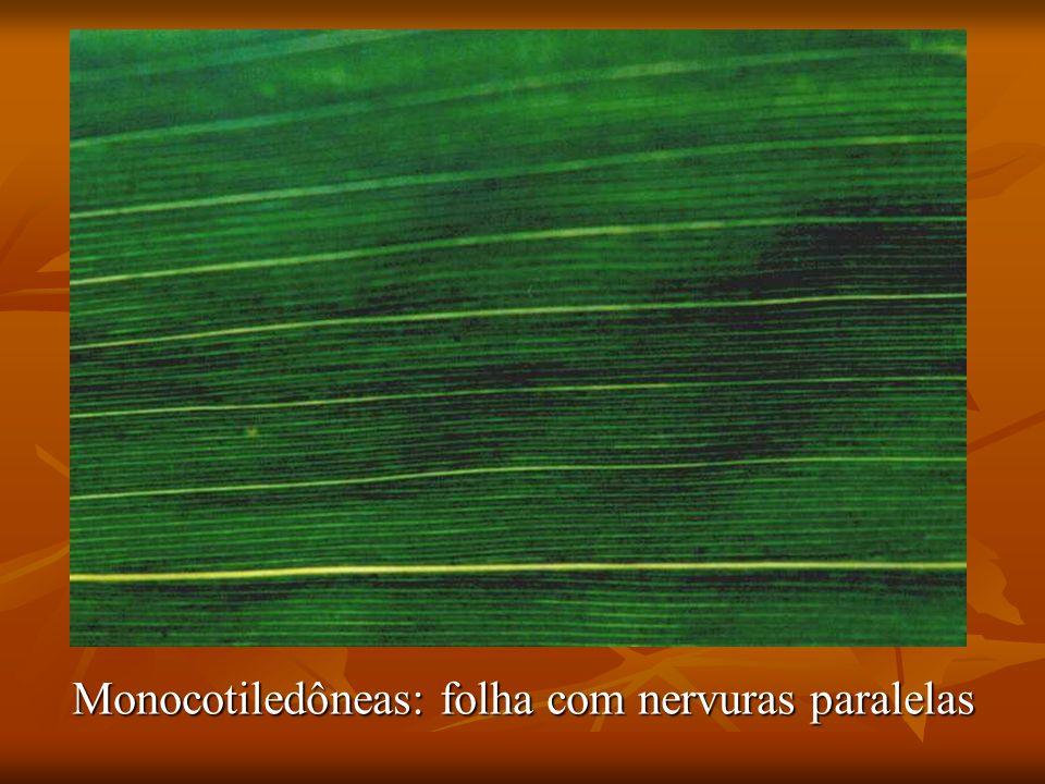 Monocotiledôneas: folha com nervuras paralelas