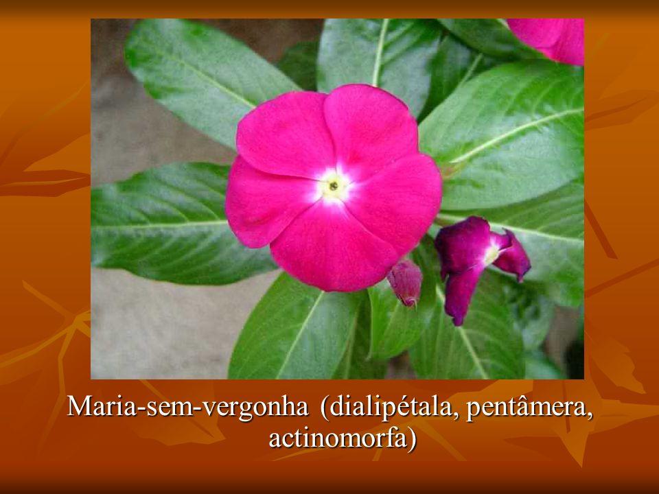 Maria-sem-vergonha (dialipétala, pentâmera, actinomorfa)