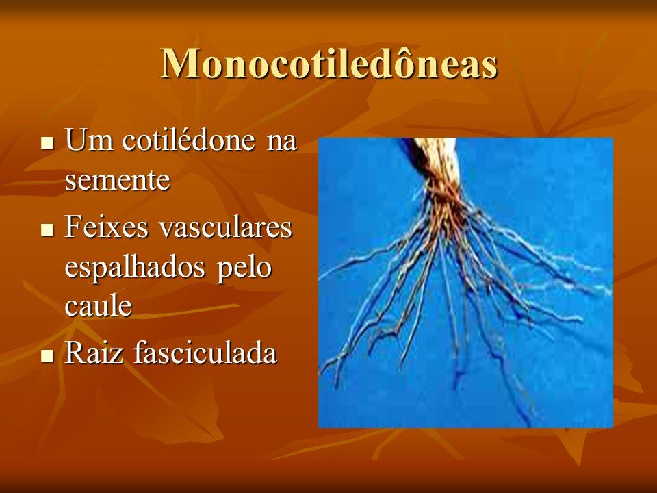 Monocotiledôneas Um cotilédone na semente